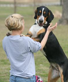 Cómo adiestrar un perro a saludar personas sin saltar.