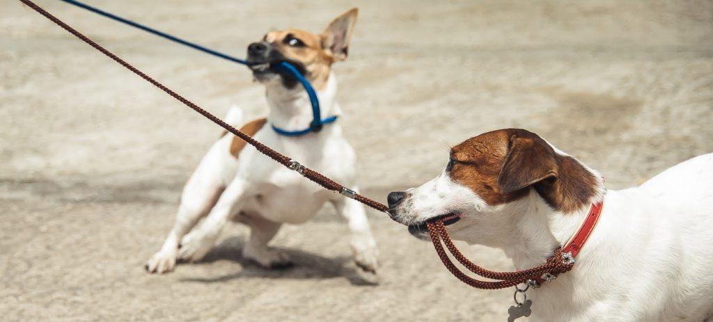 Evitar que un perro muerda la correa
