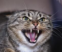 agresividad gato valencia